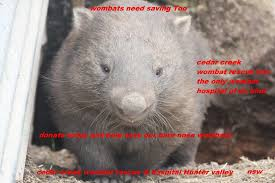 Wombat Memes - cedar creek wombat rescue inc and wombat hospital home facebook
