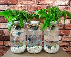 3 mason jar aquaponics kit sustainable fish by greenplur on etsy