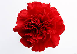 carnation flower cliparts free download clip art free clip art