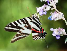 kansas native plant society 7 a vital connection native plants and butterflies friends of
