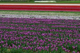 unique provence luxury and authentic travel blog the tulip fields