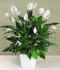 Fragrant Indoor House Plants - top fragrant houseplants houseplants gardenias and plants