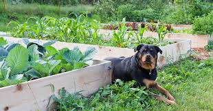 what veggies are good for dogs