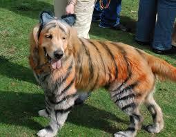 funny dog costumes halloween golden retriever tiger costume humor hound halloween