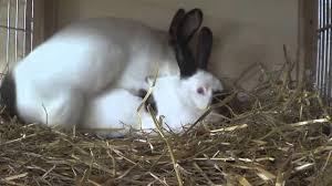 rabbits mating like crazy youtube