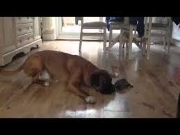 boxer dog jokes tortoise v boxer youtube