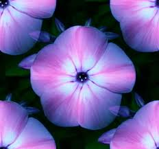 blue and purple flowers flowers backgrounds textures wallpapers and background images