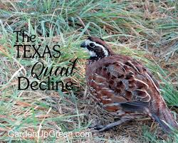 Raising Quail Backyard 28 Best Chickens Images On Pinterest Quail Coop Raising Quail