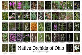 native ohio plants native orchids of ohio poster