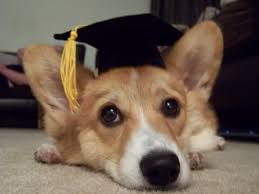 dog graduation cap puppy class graduation cap mycorgi