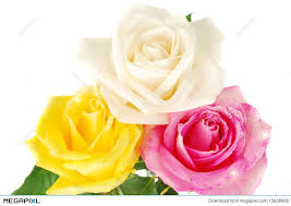 three roses stock photo 13938966 megapixl