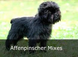 affenpinscher coat type affenpinscher mix affenpinscher mixed breeds alldogsworld com