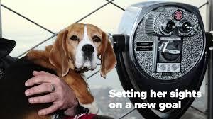 australian shepherd 2015 westminster meet westminster dog show best in show 2015 winner miss p nbc