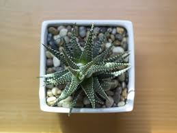 how to care for succulents and cacti in winter espoma