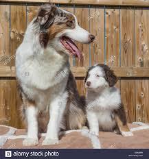 australian shepherd queensland female australian cattle dog stock photos u0026 female australian