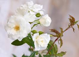 Fragrant Rose Plants - rose u0027iceberg u0027