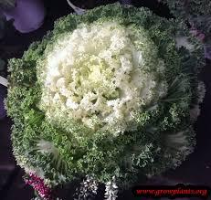 ornamental kale plant growing grow plants