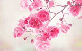 pink flower pink flower wallpapers 25390 1920x1200 px hdwallsource
