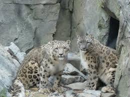 snow leopard visit u2014 halloween 2013 the mountain ghost