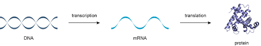 Dna Rna And Protein Synthesis Worksheet Transcription Translation And Replication
