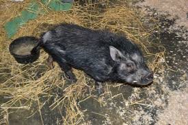 big issue pigs u2022 lollypop farm