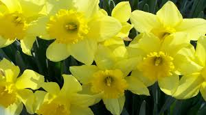 Flowers For Sale Daffodils Flowers For Sale Wallpapers13 Com