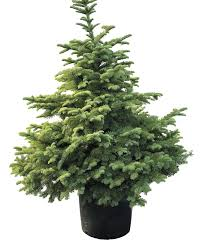 noble christmas tree how to plant a living christmas tree that ll last for many