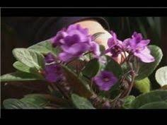 growing african violets by tagawa gardens youtube african