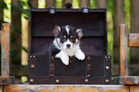 adorable tricolor corgi puppy outdoors stock photo image 85775116