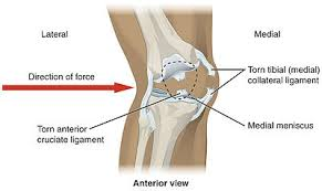 Collateral Ligaments Ankle Knee Wikipedia