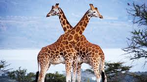 can ranching save giraffes mission critical video nat geo wild