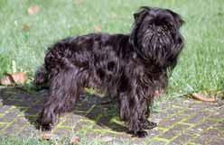 affenpinscher qualities all dogs ckc