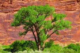 cool trees cottonwood trees facts about these cool trees jake s nature blog
