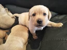 accounting resume exles australian kelpie lab labrador x golden retriever pup dogs puppies gumtree
