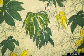 Plant Diseases Wikipedia - cassava mosaic virus wikipedia