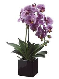 orchid plants 20 phalaenopsis orchid plant x1 in ceramic pot two