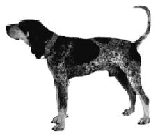bluetick coonhound drool dogs new zealand breeds bluetick coonhound