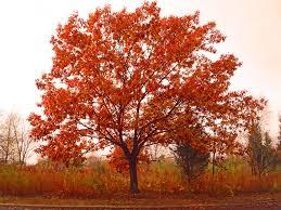 fall tree coronado