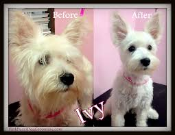 cairn hair cuts ivy the miniature schnauzer terrier mix before after dog grooming