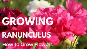 Cut Flowers How To Grow Ranunculus From Corms Cut Flower Tutorial Youtube