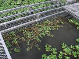 native aquatic plants is there any promising candidate aquatic plants to survive