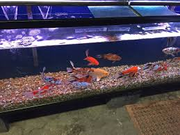 the local pet store edition los angeles terry aley s guppy site