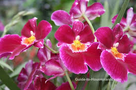 Orchids Care Pansy Orchid Care Tips Miltoniopsis Orchid Hybrids