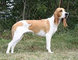 afghan hound lifespan life span of swiss hound