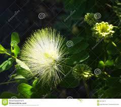 close up of australian rain tree silk plant flower stock photo