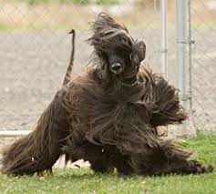 afghan hound breeders victoria 133 best wonderful afghans hounds images on pinterest afghans
