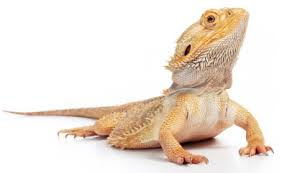 bearded dragon lighting guide bearded dragon lighting tips