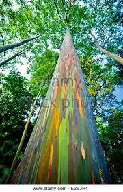Rainbow Eucalyptus Rainbow Eucalyptus Eucalyptus Deglupta Stock Photos U0026 Rainbow