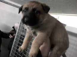 9 month old belgian malinois belgian shepherd malinois puppies funny puppy u0026 dog pictures