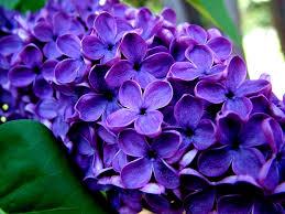 purple flowers 14062 idghp pinterest purple flower